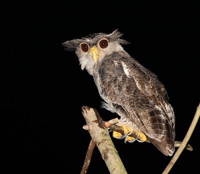 Strigformes: Famíla Strigidae- sub fam. Buteonidae. Género Ketupa (por vezes incluído em Bubo) Barred+Eagle-owl_Sg+Jernih_090610_IMG_3472