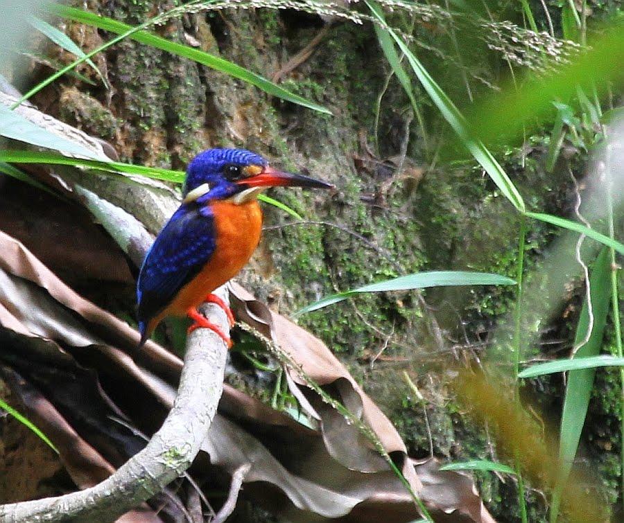 http://4.bp.blogspot.com/__Dq5_ABpFrs/TMODHTwNTaI/AAAAAAAANxY/IDT9ne4Qpyc/s1600/Blue-eared+Kingfisher_Sepilok+RDC_151010_IMG_8310.jpg