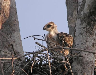 เหยี่ยวหงอนสีน้ำตาลท้องขาว Wallace's Hawk-eagle Wallace%2527s%2BHawk-Eagle_040310_DSCN8980
