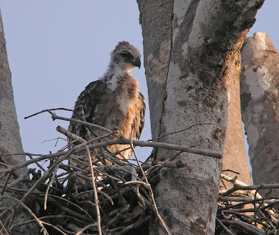 เหยี่ยวหงอนสีน้ำตาลท้องขาว Wallace's Hawk-eagle Wallace%2527s%2BHawk-Eagle_040310_DSCN8995