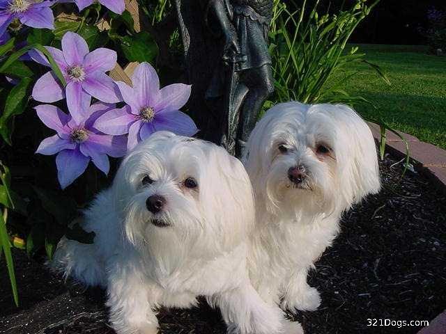 Bichón maltés todo sobre la raza de perros Bichonmaltes  - Bichon Maltes Pelo Corto