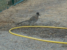 Roadrunner getting a drink
