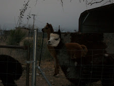 Alert Alpacas in the dusk