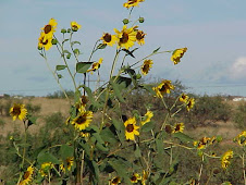 Frontage road sunflowers