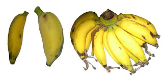 Bananas are small and sweet and are available all year.