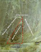 Triangulo lumbar o triangulo de J. L. Petit como también se le llama.