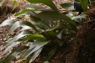 healthy aspidistra flurishing in the shade