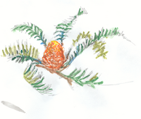 sketch of a cycad in south africa, showing cone