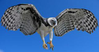 Facts About The Harpy Eagle