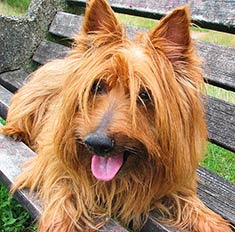 great australian terrier