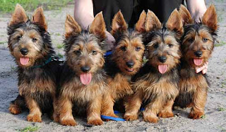 Australian Terriers Breeders Puppies