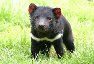 tasmanina devil pup