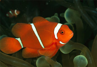 Clown Fish In The Mediterranean