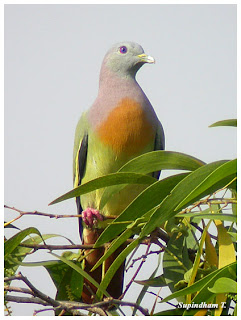 The Pink necked pigeon