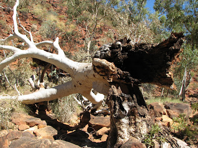 Toppled Ghost Gum, Kings Canyon, Northern Territory