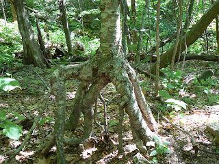 Pohon Berjalan, Berpindah Tempat??