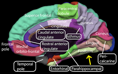 Medial surface of cerebral cortex - fusiform gyrus