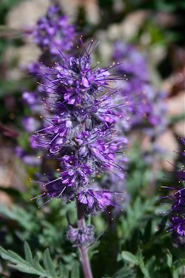 Purple Fringe (Phacelia sericea) should be viewed up close.