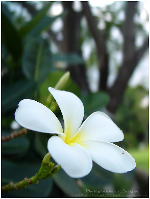 Flower Plumeria Camera Photo Bangkok Thailand