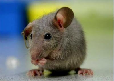 http://4.bp.blogspot.com/__ZjgodpVD1I/SW2GO2p9EPI/AAAAAAAAABY/TRv1tMHi-Xg/s320/mice_5638.jpg