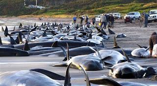 24 ikan paus pilot yang terdampar