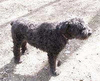 dog bouvier black