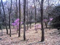 木立の中のミツバツツジ