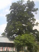 加子母の大杉