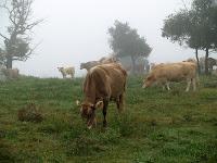 Vaques als camps del mas Colom Gros