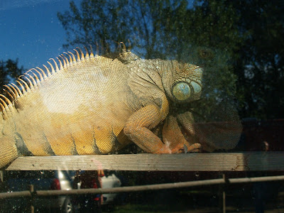 Iguana a la casa del Sord