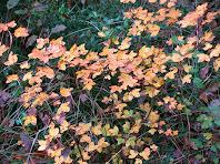 Catifa de fulles d'auró tot baixant pel Camí del Grau