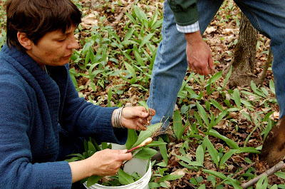 Foraging For Ramps In Southern Ontario