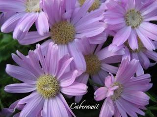 sebuah taman bunga tidak lengkap bila tidak ada bunga aster bunga