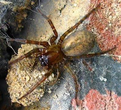 Michigan Spiders - Hacklemesh Weaver-1