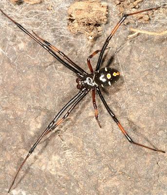 Michigan Spiders - Northern Black Widow Spider-Male