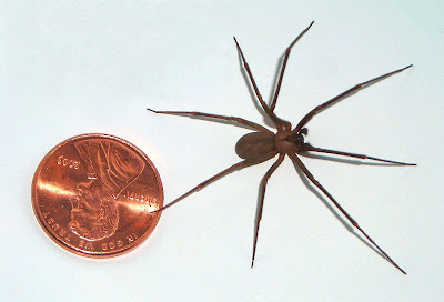 Michigan Spiders - Brown Recluse-1