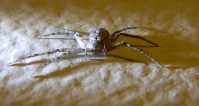 Michigan Spiders - Running Crab Spider-4