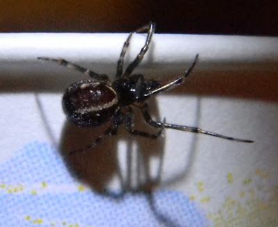 Michigan Spiders - Rabbit Hutch Spider-2