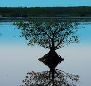 Baby Mangrove, Merritt Island (babymangrovemerrittisland)