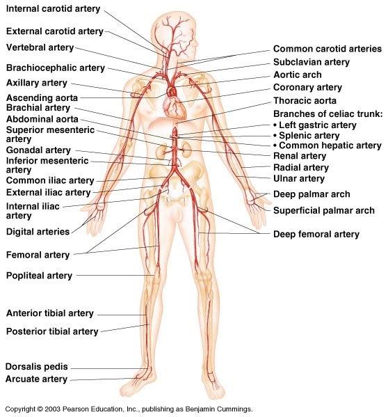 Saddleback Sciences: HUMAN ARTERIES AND VEINS/ILLLUSTRATIONS