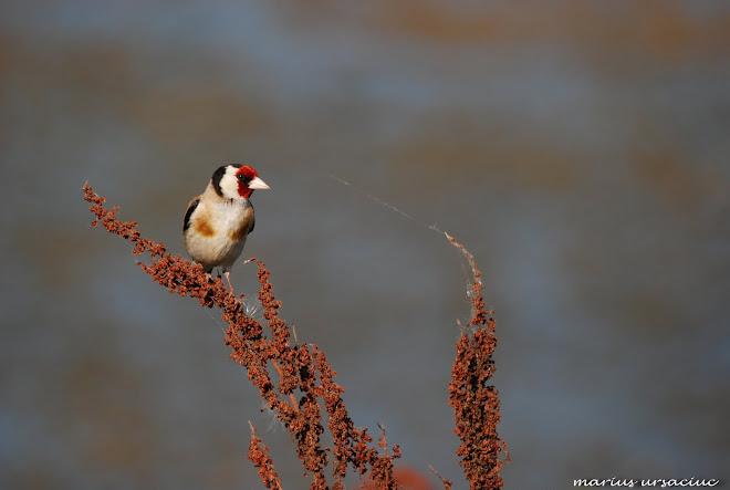 sticlete, goldfinch, chardonneret elegant, stieglitz, tengelic