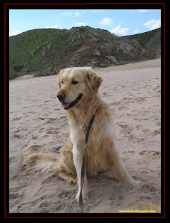 golden retriever na praia do amado