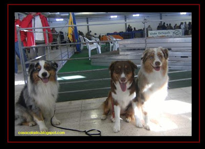 australian shepherd in sousel dog show