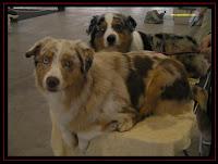 Pastores Australianos na Exposição Canina