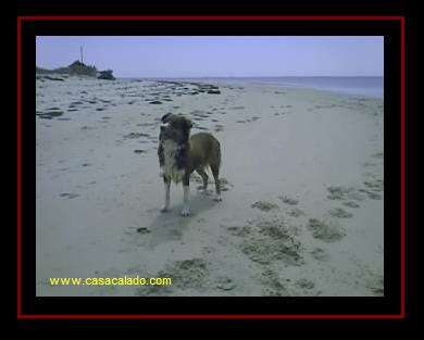 Australian Shepherd in Armona Island