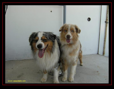 Portie and Aussies in Algarve Dog Show