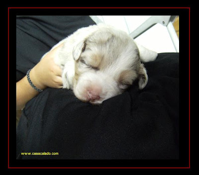 australian shepherd puppies with 15 days