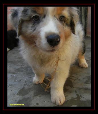 australian shepherd puppies 7 weeks