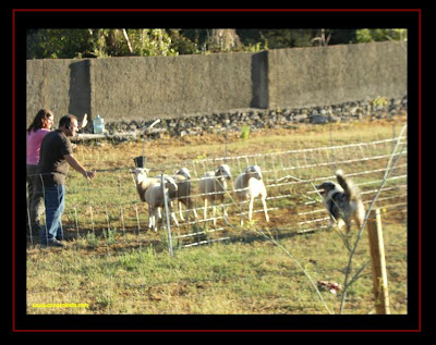 Herding with Australian Shepherd