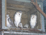 Beautiful Owls in Caversham Wildlife Park, Perth
